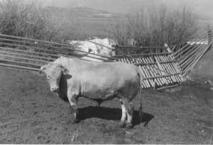 A.B. Cobb, Charolais Bull, Unknown Date