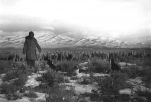 Sheep grazing to control sagebrush-November 18, 1958, Chevelier, 15 miles NW of Helena